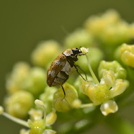 Carpet beetle in the flowering parsley by Yani Dubin - Animals Insects & Spiders