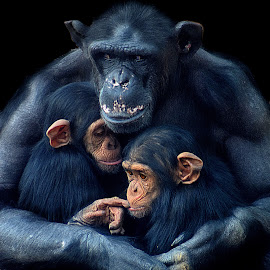 Chimp Mother Plus Two by Shawn Thomas - Animals Other Mammals