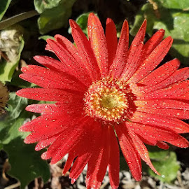red gerbur daisy  by Jeffrey Lee - Flowers Flower Gardens
