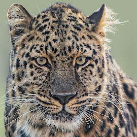 by James Eveland - Animals Lions, Tigers & Big Cats ( leopards, wildlife )