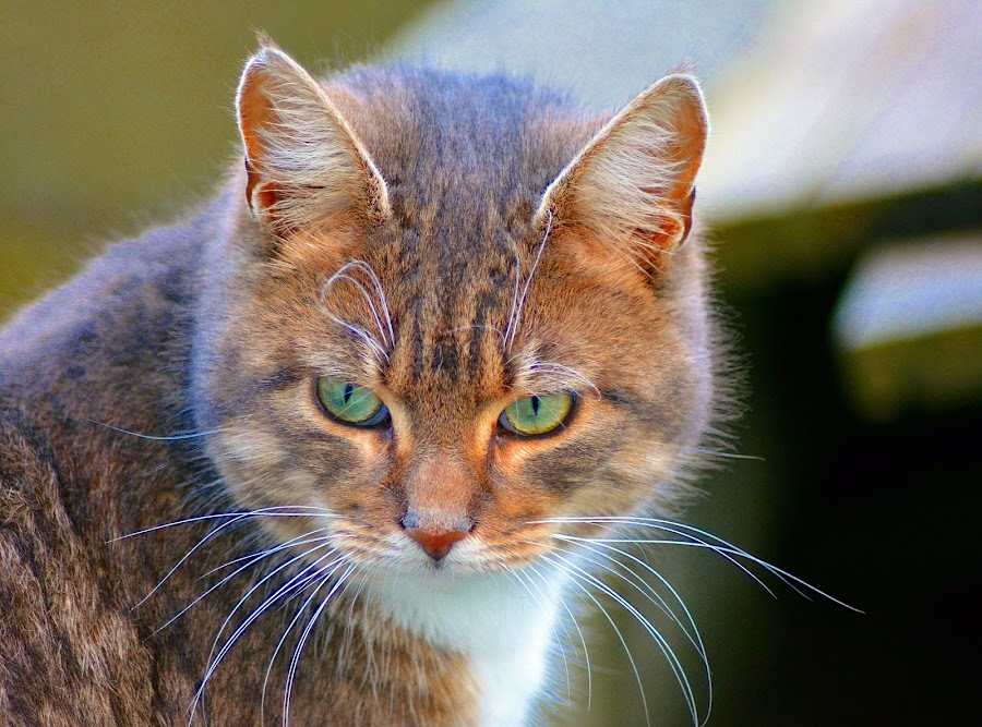 Smokey by Les Reynolds Amanda Whichello - Animals - Cats Portraits ( cat, domestic cat,  )