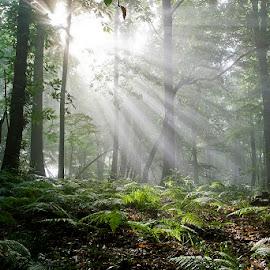by Siniša Almaši - Nature Up Close Trees & Bushes ( sunlight, sunrays, view, depth, nature, light, grass, tree, trees, sun,  )