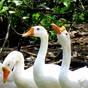 Ducks' world by Mainak Adak - Animals Birds ( swans, nature, ducks, nature up close, birds )