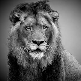 Regal Lion B&W by Shawn Thomas - Black & White Animals ( pride, predator, lion, cat, carnivore, mane, wildlife, king, large )