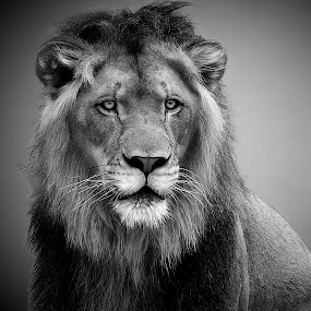 Regal Lion B&W by Shawn Thomas - Black & White Animals ( pride, predator, lion, cat, carnivore, mane, wildlife, king, large,  )