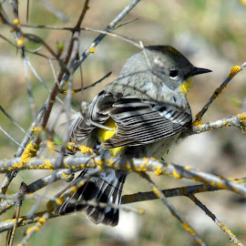 Female Yellow Rumped Warbler by Cynthia Dodd - Novices Only Wildlife ( wild life, nature, fly, outdoors, birds )