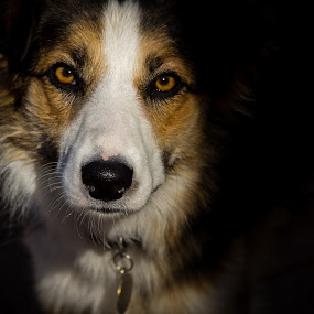 Mysterious Dag! by Stephanie Walsh - Animals - Dogs Portraits ( border collie, shadow, dog, tan lindo, portrait, animal,  )