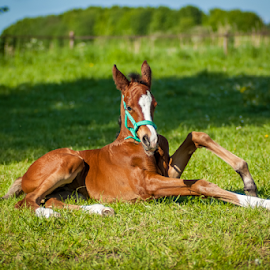 Apples by M.E. van Neerwijk - Animals Horses ( filly, equine, nature, horses, grass, green, horse, fuji, s5pro, tamron, foal )
