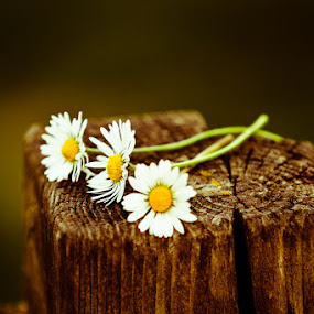 Daisies by Luca Libralato - Nature Up Close Flowers - 2011-2013