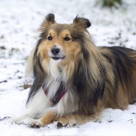 Benji in the snow by Fiona Etkin - Animals - Dogs Portraits ( canine, companion, pet, snow, shetland sheepdog, dog, sheltie, animal )