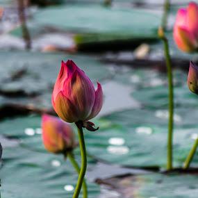 LOTUS by Neelakantan Iyer - Nature Up Close Flowers - 2011-2013