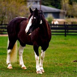 Posing by Deborah Murray - Animals Horses ( field, farm, fence, color, green, fall, outdoors, horse )