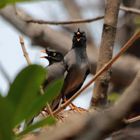 Jungle Myna by Saeed Shoummo - Novices Only Wildlife ( saeed shoummo, jungle myna, shoummo )