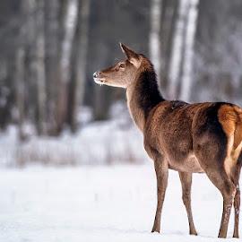 doe by Stanley P. - Animals Other Mammals