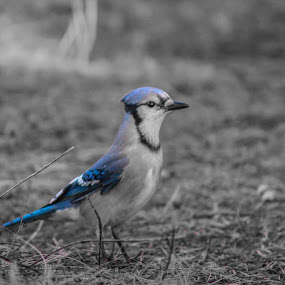 Blue jay  by Alana Carson - Black & White Animals