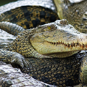 crocodile by Andre Pratjojo - Animals Reptiles