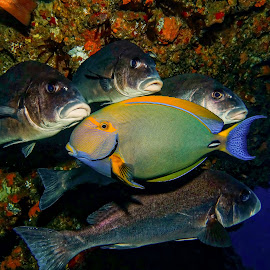 fake family by Peter Schoeman - Animals Fish ( colourful, fish, fun, group, diving, animal )