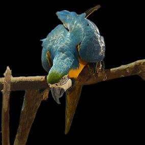Macaw Bird by Kamal Mallick - Animals Birds ( bird, bird closeup, bird photos, bird photography )