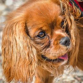 Ruby King Charles Spaniel by Dave Lipchen - Animals - Dogs Puppies ( ruby king charles spaniel )