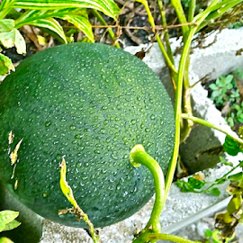 { Fresh Seedless Water Melon on the vine }  by Jeffrey Lee - Nature Up Close Gardens & Produce