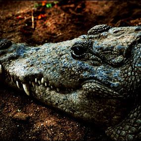 croc by Pranjeet Sonowal - Animals Reptiles ( crocodile, lake, reptile, gharial, aligator )