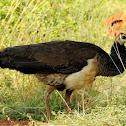 Indian peafowl-Female