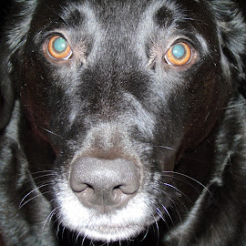 DOLLY by Cynthia Dodd - Novices Only Pets ( pets, animals, dog, black lab, soft )