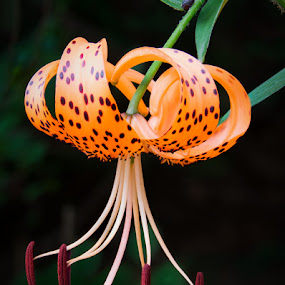 Tiger Lily by John Klingel - Nature Up Close Flowers - 2011-2013 ( orange, focus stacking, flowers, tiger lily )