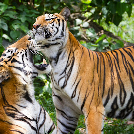by Ryan Dominguez - Animals Lions, Tigers & Big Cats ( big cats, playing tigers, zoo, tiger, zoolife )