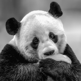 Happy Panda by Joan Sharp - Animals Other Mammals ( licking, animals, panda, black and white, holding ice,  )