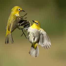 ORIENTAL WHITE EYE by Subramanniyan Mani - Animals Birds ( playing, bird, flying, nature, fight, action, wildlife )