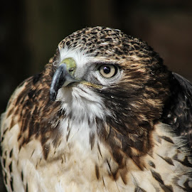 Hawk by Garry Chisholm - Animals Birds ( bird, garry chisholm, nature, wildlife, prey, raptor, hawk )