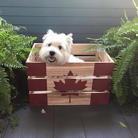❤️❤️Happy Canada Day❤️❤️ by Rose Heppner - Animals - Dogs Puppies