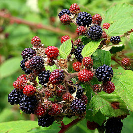 A Bumper Harvest by Chrissie Barrow - Nature Up Close Other Natural Objects ( fruit, red, nature, green, bush, blackberries, leaves, black, closeup, berries )
