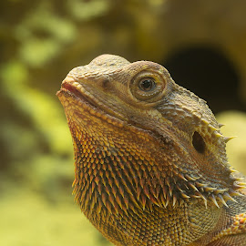 Ammagedon by Jürgen Sprengart - Animals Reptiles ( agame, yellow, reptil, profile )