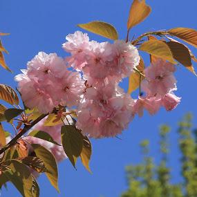 Çiçek dalı by Recep Cenbek - Flowers Tree Blossoms ( bahar, ağaç, çiçek )