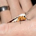 Salt Marsh Tiger Moth