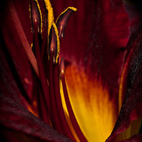 Flower Fire by Ron Plasencia - Nature Up Close Flowers - 2011-2013 ( red, pistles, yellow, flowers, close up )