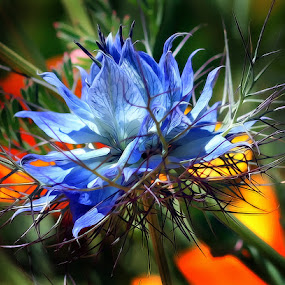 Love in a Mist by Susan Foss - Nature Up Close Flowers - 2011-2013