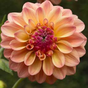 Still Opening by Janet Marsh - Flowers Single Flower ( pink, dahlia, filoli,  )
