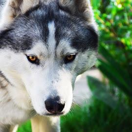 Husky hunting by Sonja Savic - Animals - Dogs Portraits ( playing, dogs, siberianhusky, hunting, husky, dog )
