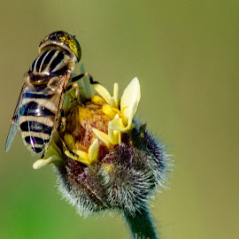 Striped Winger by Ynon Francisco - Animals Insects & Spiders ( pollen, fly, bee, flower, honey )