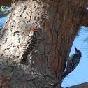 Nutalls Woodpecker
