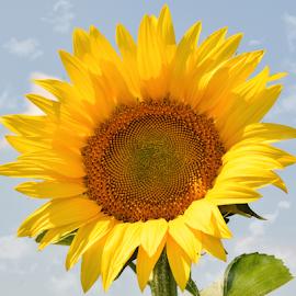 nice sunflower by LADOCKi Elvira - Flowers Single Flower (  )