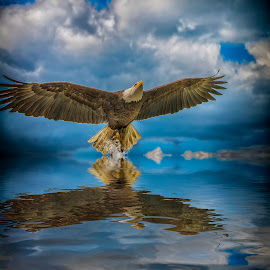 eagle above water by Egon Zitter - Digital Art Animals ( water, reflection, bird of prey, eagle, wings, spread )