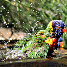 Bird Bath by Joanne Draper - Novices Only Wildlife ( #bird, #nature, #bath, #wildlife, #lorikeet )