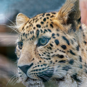 Amur Leopard by Fiona Etkin - Animals Lions, Tigers & Big Cats ( whiskers, close up, feline, mammal, nature, amur leopard, spots, animal, portrait, big cat,  )