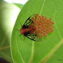 Seagrape Sawfly