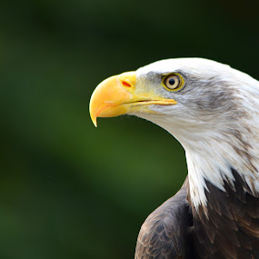 Bald eagle in profile by Steen Hovmand Lassen - Animals Birds ( bird, eagle, beak, raptor, bald, eye,  )