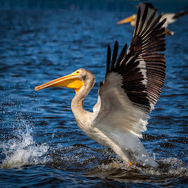 Pelican by Dave Lipchen - Animals Birds ( water, splash, drops, take off, pelican )